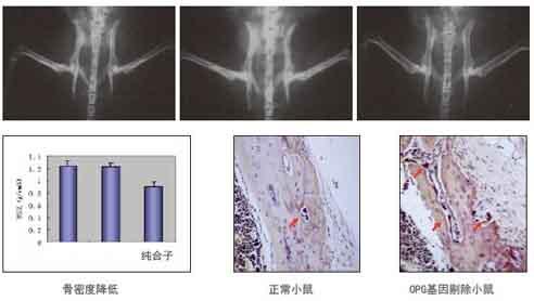 ① 制作转基因和基因剔除小鼠模型;  ② 制作疾病动物模型;  ③