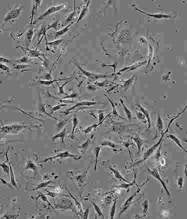 HSAS1人皮肤成纤维细胞