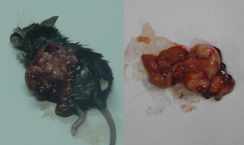 肿瘤小鼠模型实验报告