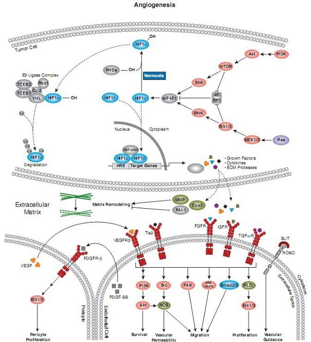 血管生成是通过人体中存在的诸多互补和复杂的信号途径调节的.血管内皮生长因子(VEGF)-血管内皮生长因子受体(VEGFR)、血管生成素(Ang)-Tie2轴和Dll4-Notch这3个复杂的、相辅相成的信号传导通路可在调节血管生成中发挥重要作用. VEGF与内皮细胞上的两种受体KDR和Flt-1高亲和力结合后,直接刺激血管内皮细胞增殖,并诱导其迁移和形成官腔样结构;同时还可增加微血管通透性,引起血浆蛋白(主要是纤维蛋白原)外渗,并通过诱导间质产生而促进体内新生血管生成。VEGF在血管发生和形成过程中起着中