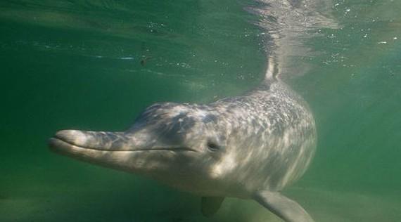 中华白海豚的寿命一般为30~40年,3~5岁达到性成熟,常年都可交配,动情期多集中在4月至9月的温暖季节,怀孕期10~11个月,每胎产一仔。刚出生的幼豚体长接近1m, 幼体出生时尾部先从母体内露出(陆生哺乳动物头先露出),防止出生过程中幼婴呛水而死。出生后即由母体带领学游泳,母豚有乳汁分泌,哺乳期8~20个月。由于整个哺乳过程母子形影不离,保护周到,幼豚的成活率均比其它水生动物成活率要高得多。雌性海豚会在10~11岁时到达成熟期。幼豚会在全年出生,但出生率在春季及夏季稍高。在其他地区,白海豚的寿命最长为4