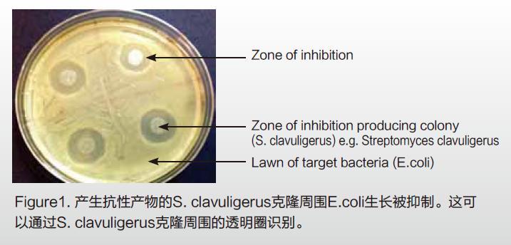 Streptomyces clavuligerus可以产生超过20种具有生物活性的次级代谢产物。包括许多B-内酰胺类抗生素,如cephamycin C、cephalosporin C、clavulanic acid等。这里使用Streptomyces clavuligerus(ATCC 27064)作为模式生物,演示针对E.coli (Migula, Castellani and Chalmers ATCC 47076)的抑菌圈的识别和挑取。两个菌株都从ATCC获得,使用TSB培养基进行培养。液体培养阶段