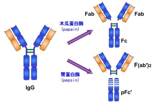 多克隆抗体(Polyclonal antibody,PAb): 抗原免疫动物所获得的免疫血清或抗血清是多种抗体的混合物, 它是由抗原中多种抗原决定簇(即抗原表位)刺激多株B细胞增殖分化所产生的, 称为多克隆抗体,也称抗血清。 单克隆抗体(Monoclonal antibody, MAb) : 用杂交瘤技术获得能分泌针对某一种抗原决定簇的特异性抗体的杂交瘤细胞系即单克隆抗体细胞系,由此单克隆细胞系产生的大量单一、同质的、高纯度的针对单一抗原决定簇的特异性抗体,叫单克隆抗体。(由于每一个免疫淋巴细胞只能分泌