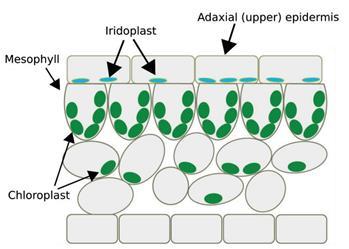科学家们发现叶片近轴面表皮细胞的下层平周壁毗邻处