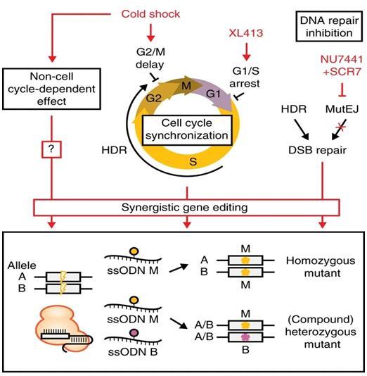 电转仪助力CRISPR编辑iPSC新进展:首次报告协同基因编辑效应