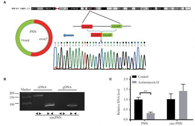 Circ-PNN的生物学结构