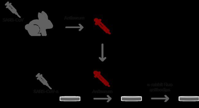 图2: Ogando等人的一项实验涉及使用免疫荧光显微镜对VeroE6细胞成像。在2002/2003年SARS爆发期间,他们大体上探索了在兔子身上制备抗SARS-CoV抗血清的潜力。他们使用不同的兔抗血清作为第一组抗体。然后,用第二组荧光抗体标记这些兔抗血清。随后,用DM6 B显微镜进行荧光显微镜检查。