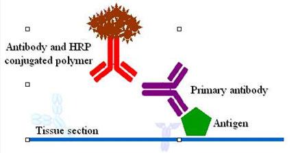 中国生物器材网--免疫细胞化学(icc)技术服务