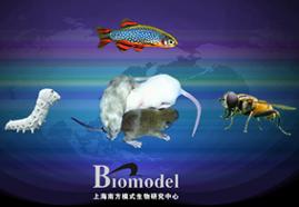 条件性基因敲除小鼠模型建立