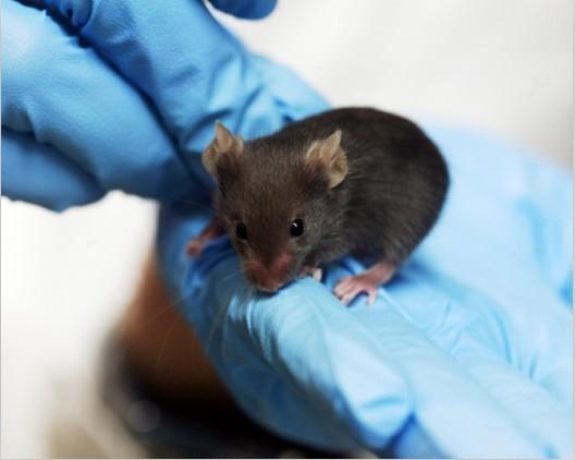 转基因小鼠构建服务