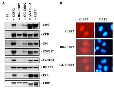 co-ip(免疫沉淀