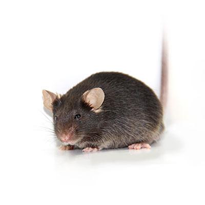 TurboKnockout基因敲除小鼠