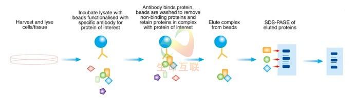 蛋白免疫共沉淀