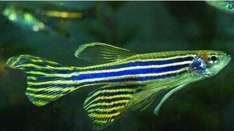 转基因斑马鱼
